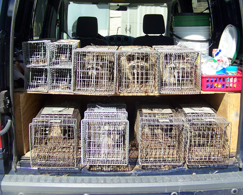 raccoons in a truck
